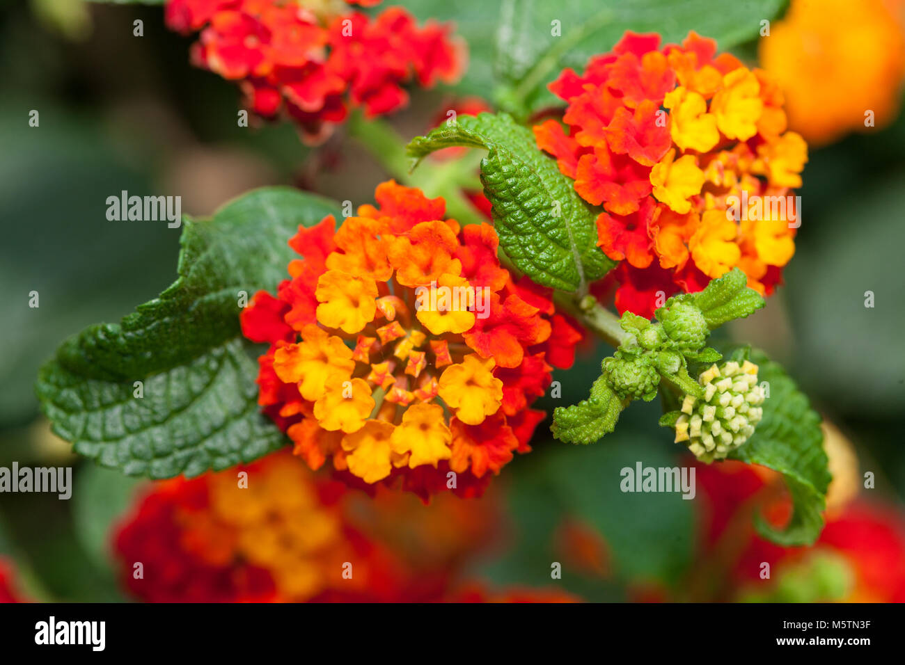 West Indian Lantana, Eldkrona (Lantana camara) Stock Photo
