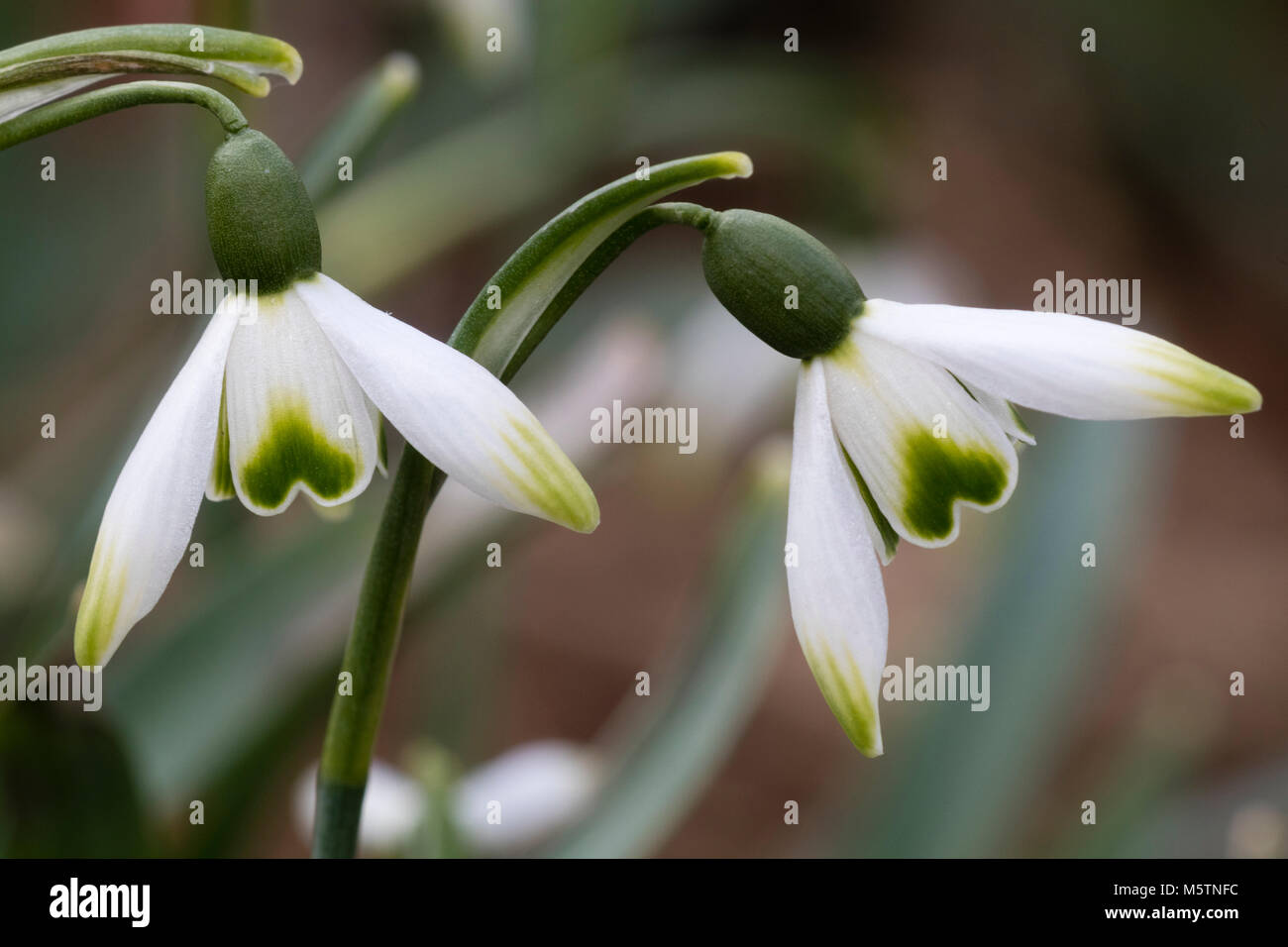 Well marked flowers of the Winter blooming snowdrop, Galanthus 'Green Arrow' - Stock Image