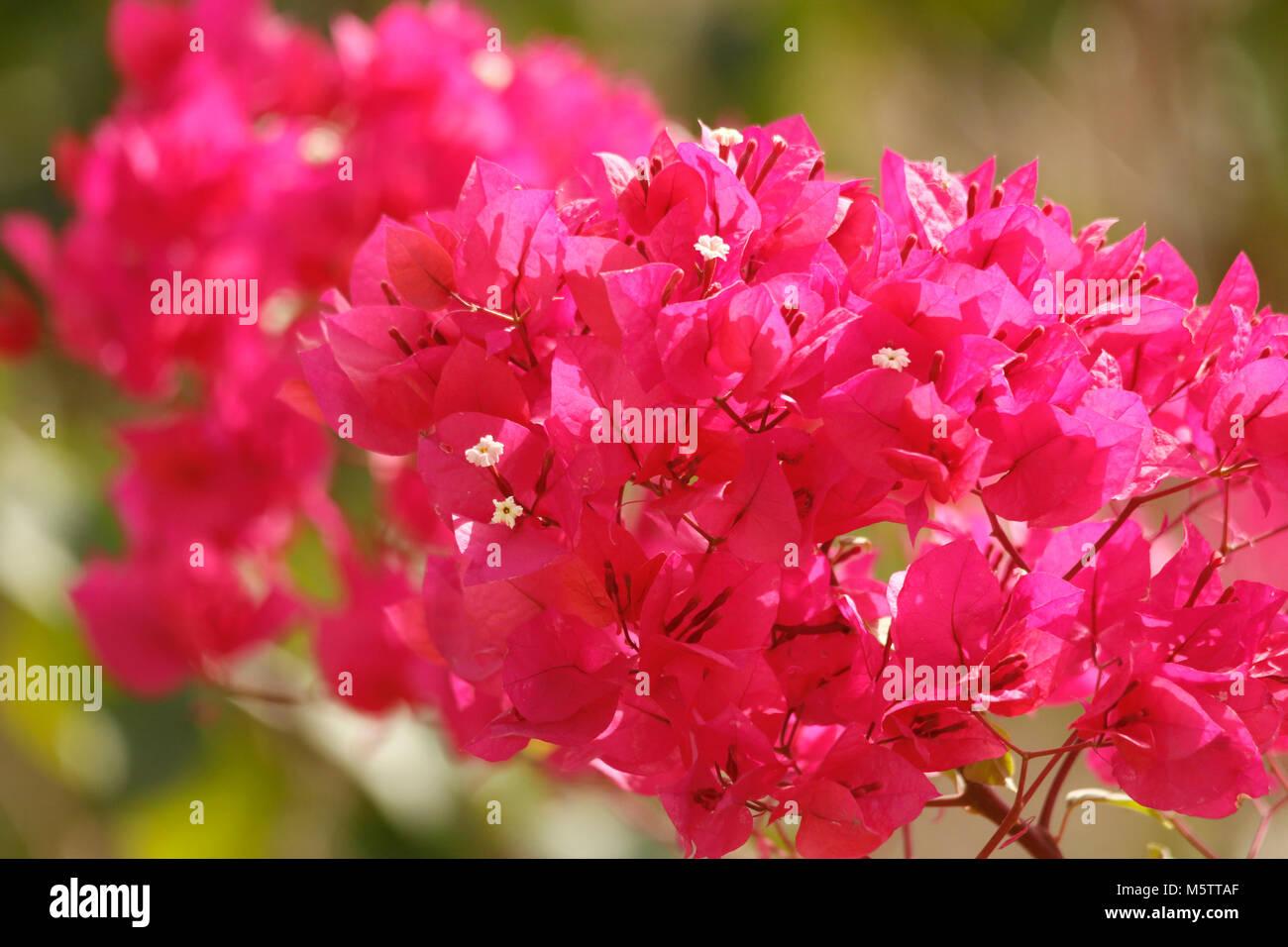 Bougainvillea flowers beautiful colors Stock Photo: 175722919 - Alamy