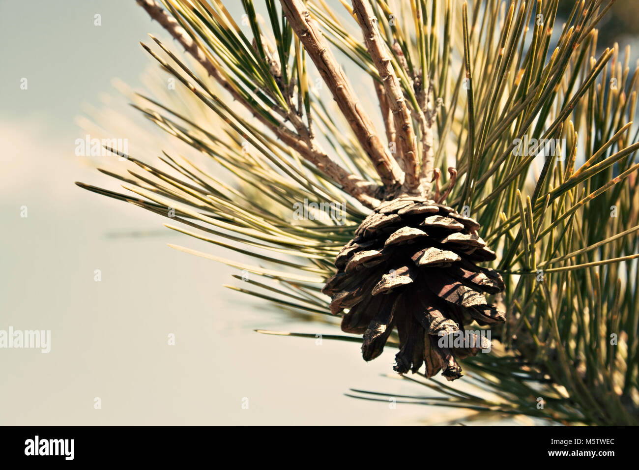 conifer tree detail - Stock Image