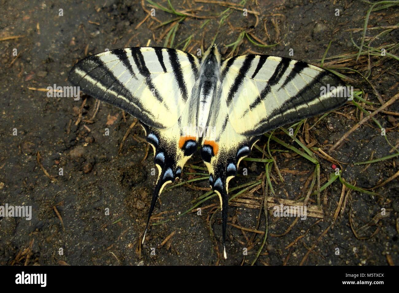 Sail swallowtail bytterfly. Stock Photo