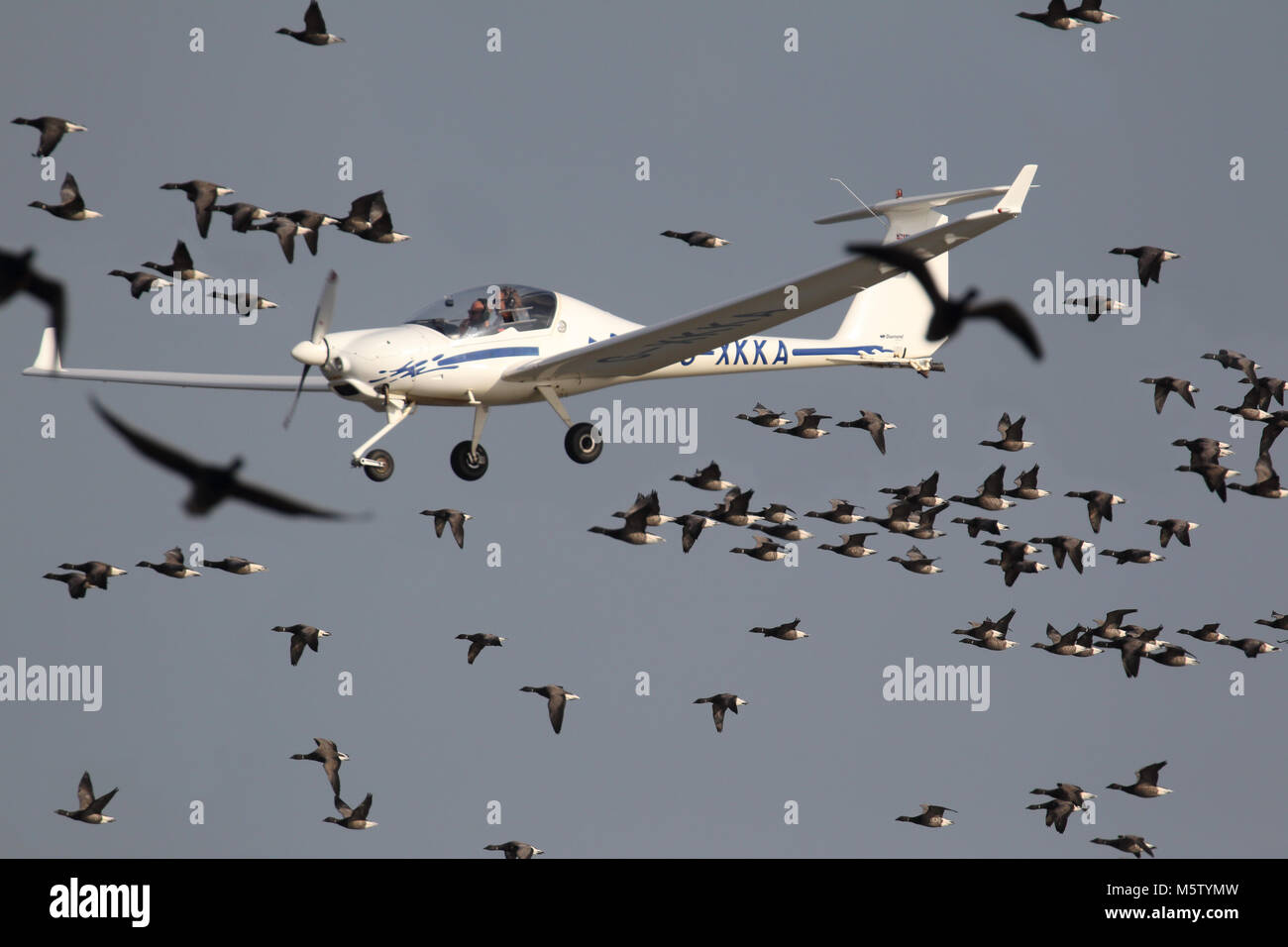 A light aircraft narrowly avoids collision with a flock of brent geese (Branta bernicla) over the Swale, Kent, England. - Stock Image