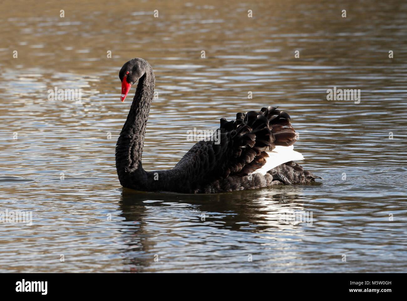 Black Swan  (Cygnus  atratus) - Stock Image