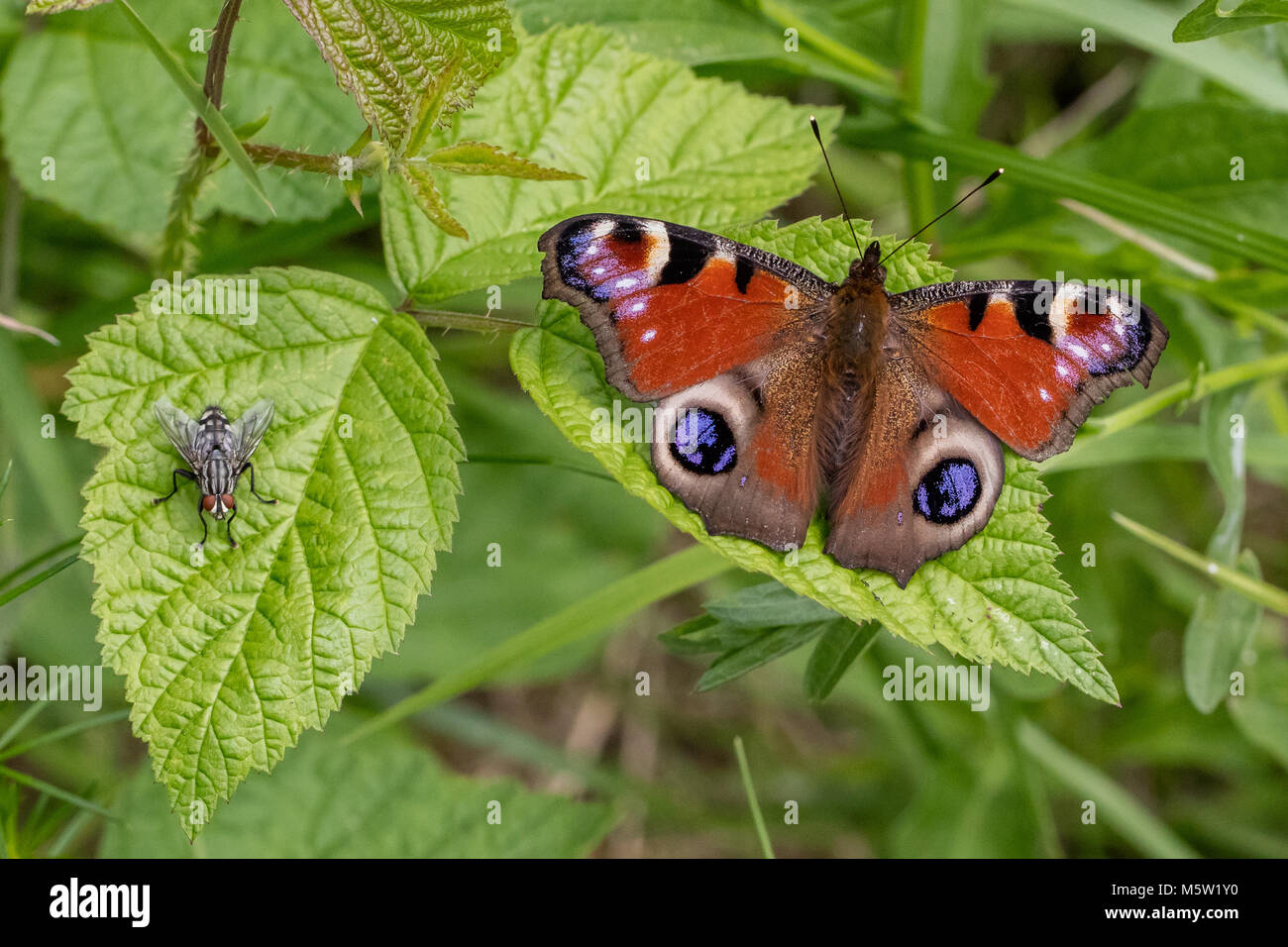 Peacock butterfly and gray flesh fly - Stock Image