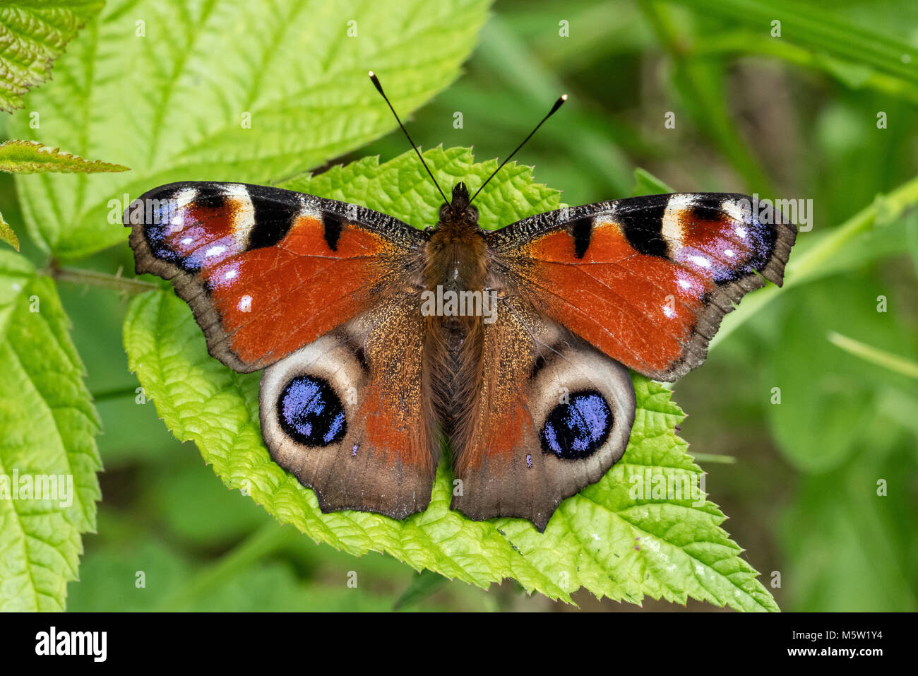 Peacock butterfly sitting on leaf - Stock Image