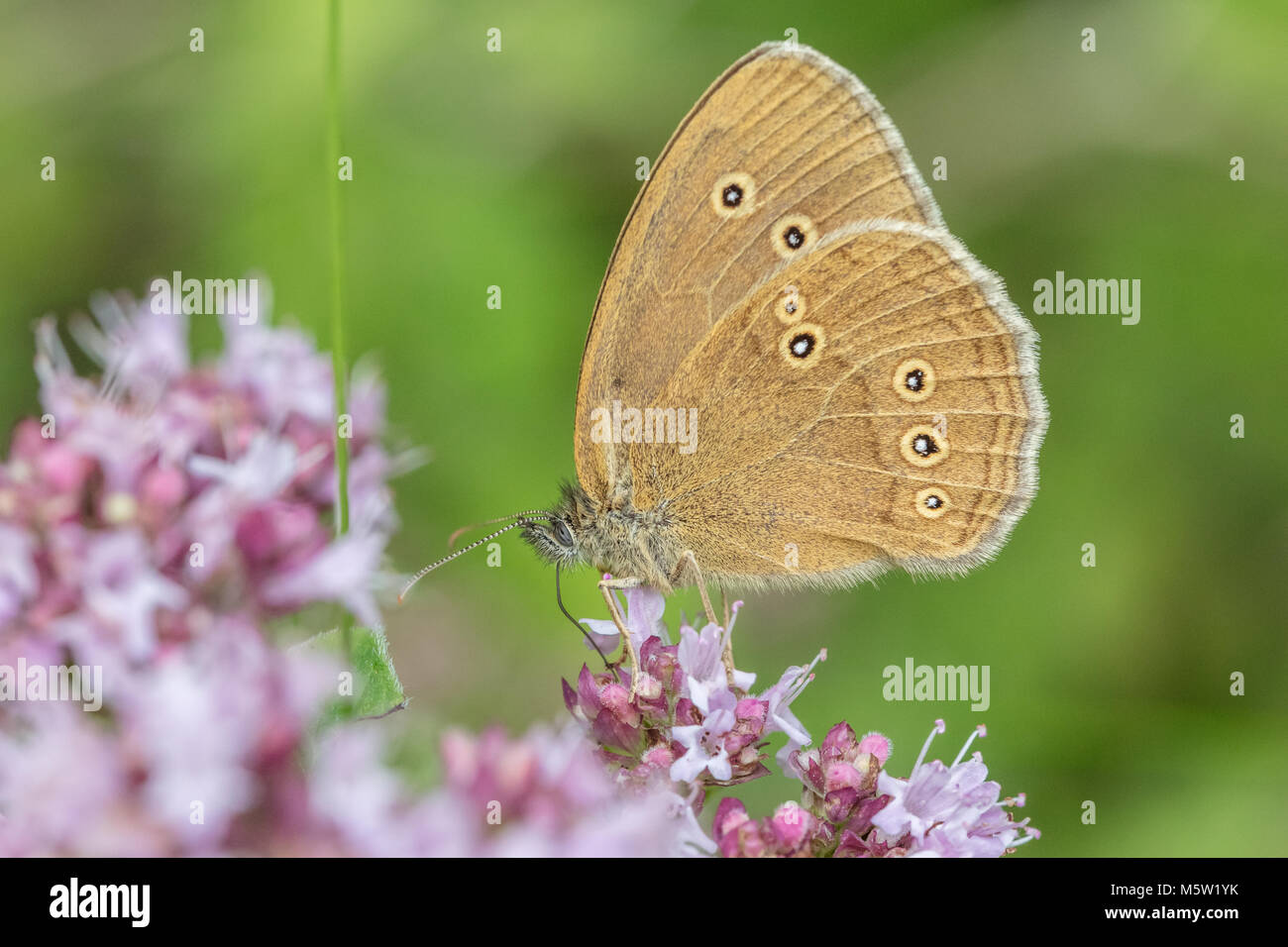 Ringlet butterfly sitting on blossom - Stock Image