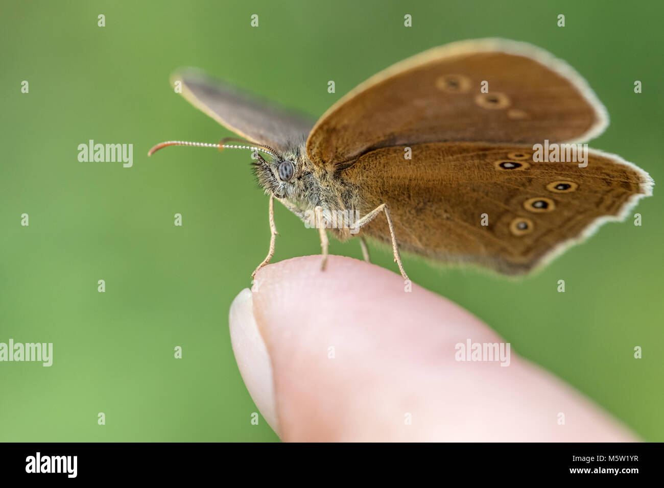 Ringlet butterfly sitting on my finger - Stock Image