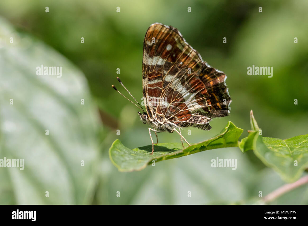 Map butterfly sitting on leaf - Stock Image