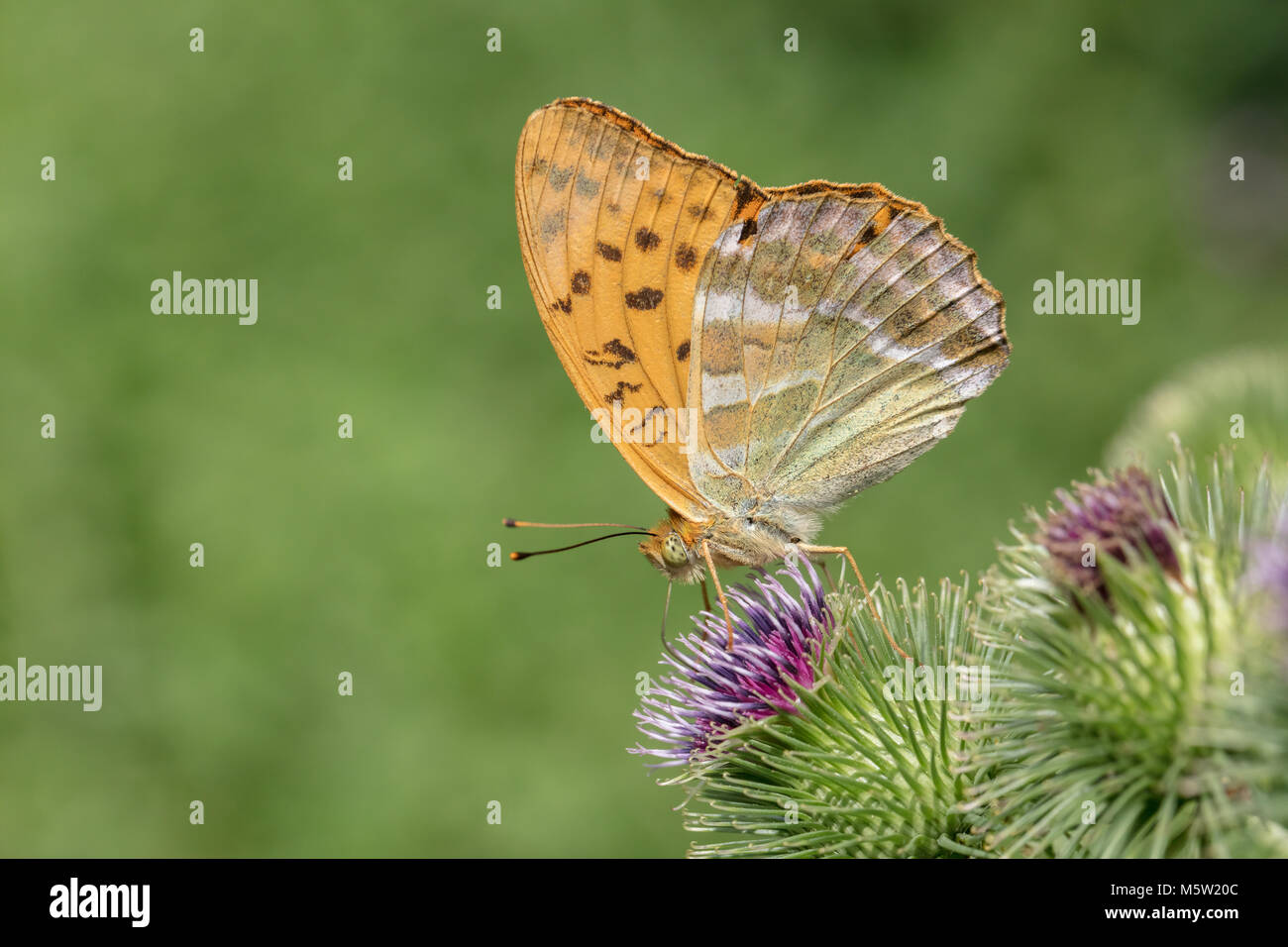 Silver-washed fritillary butterfly on thistle - Stock Image