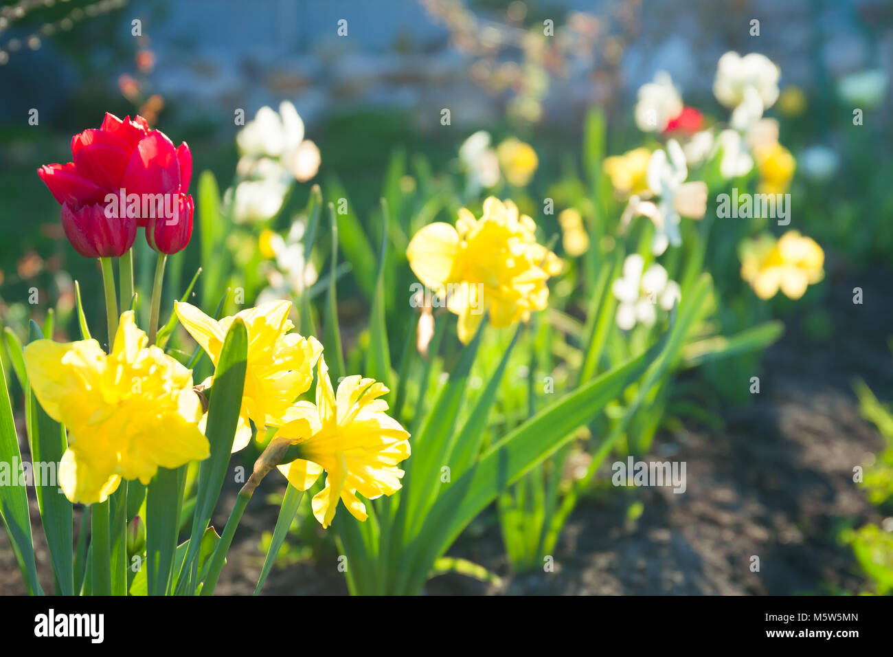 Spring flowers daffodils and tulips flowering in garden on a flower spring flowers daffodils and tulips flowering in garden on a flower bed spring landscape with blooming narcissus flowers blur background mightylinksfo