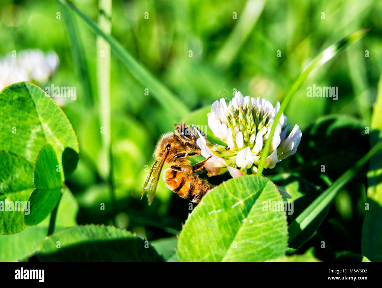 western honey bee on a flower - apis mellifera, apidae, Hymenoptera, insecta - Stock Image