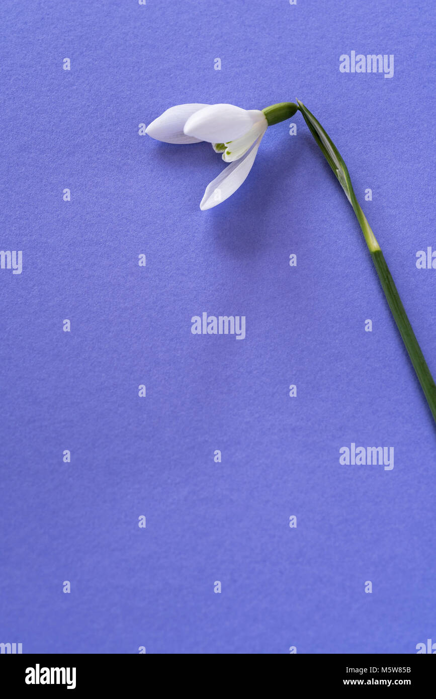 Single bloom of Galanthus nivalis, snowdrop, on plaing background with coppy space. - Stock Image