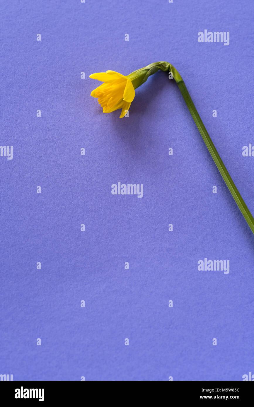 Single flower of daffodil tetea tete. - Stock Image