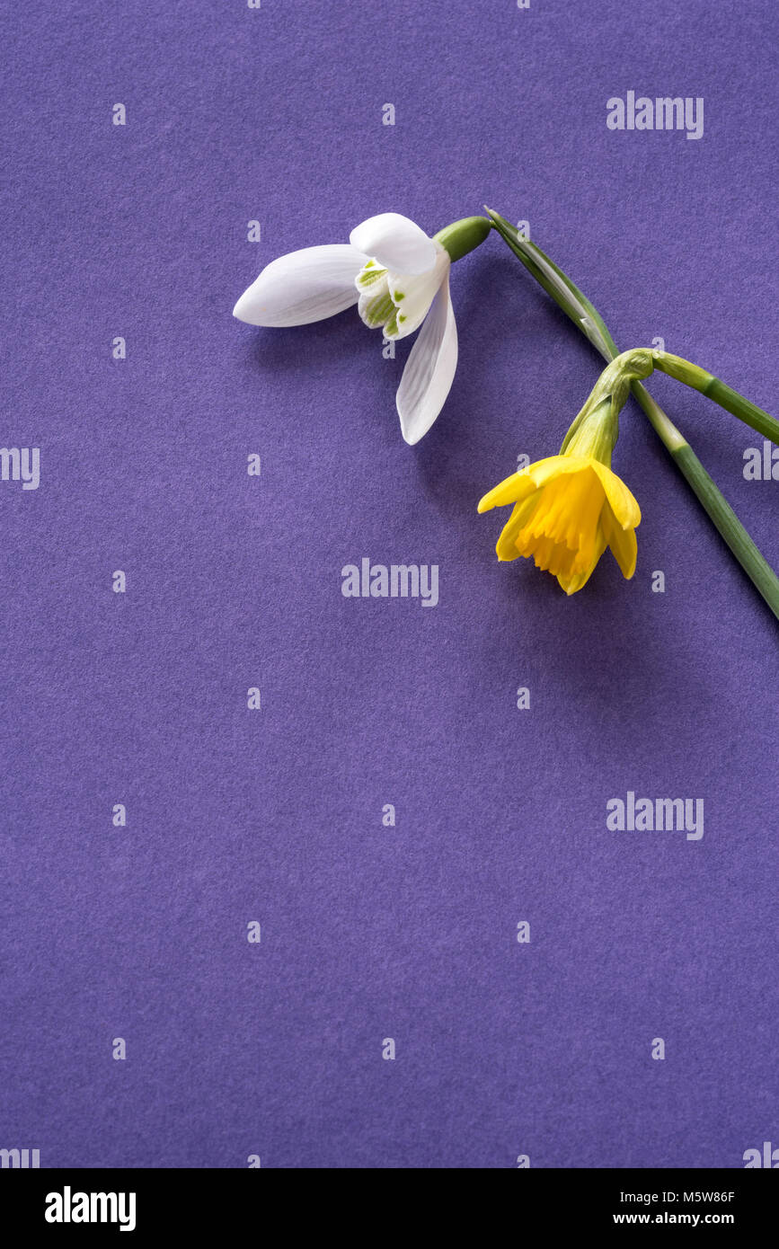 Single flower of daffodil tete a tete and single snowdrop, on a purple background. - Stock Image