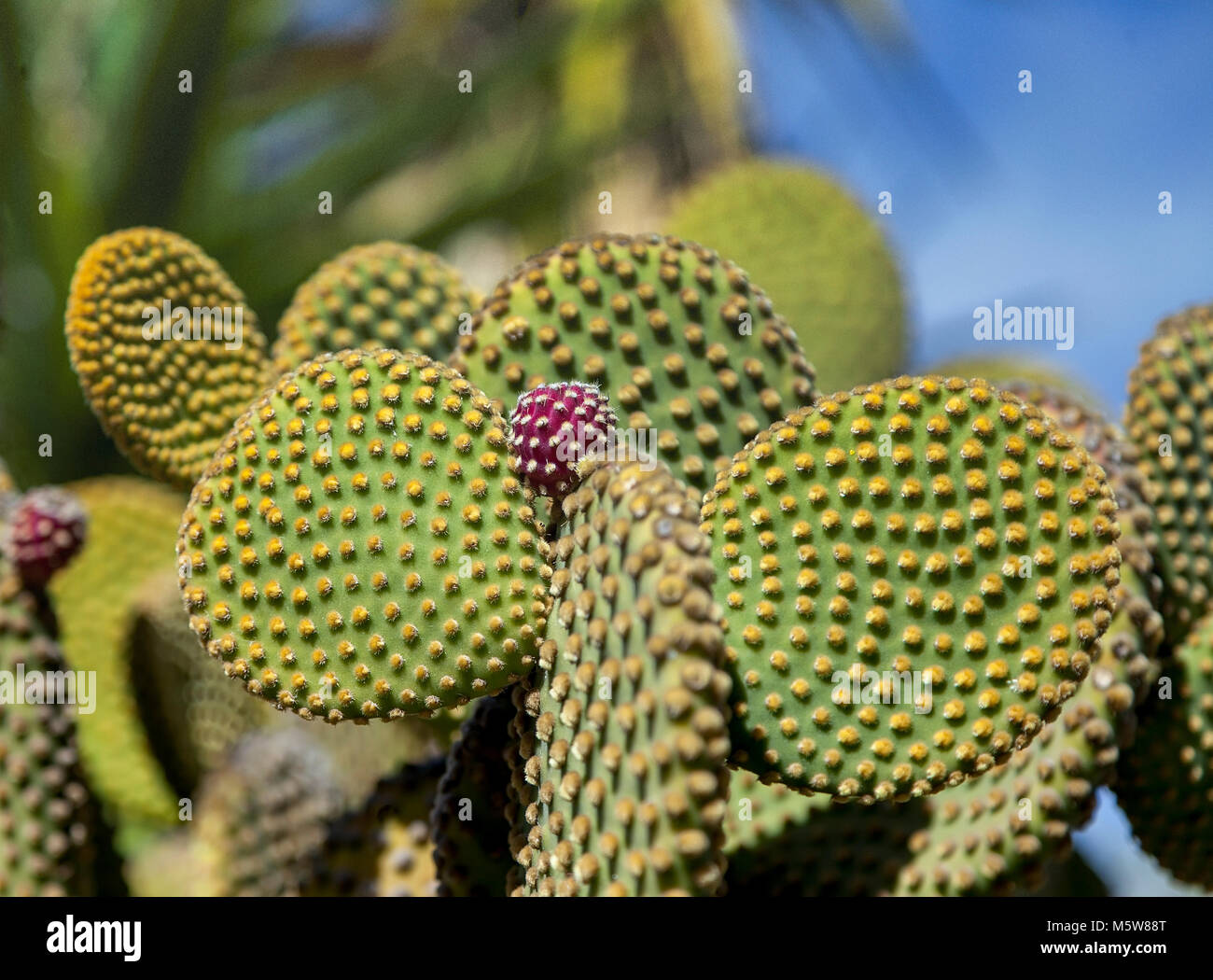 Prickly Pear Cactus with bright red blossomed bud. Close-up . - Stock Image