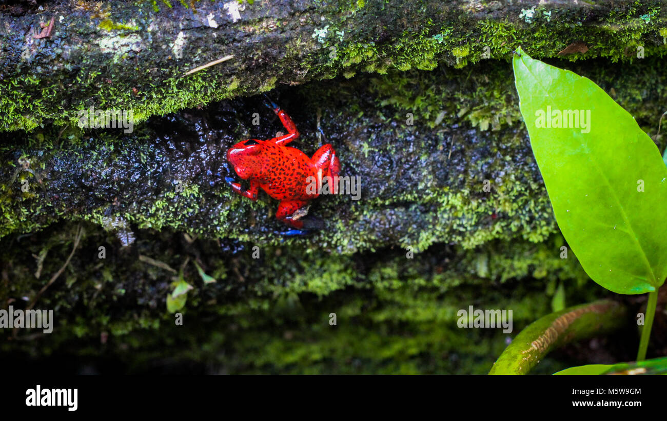 Strawberry dart frog in the forest of Costa Rica - Stock Image
