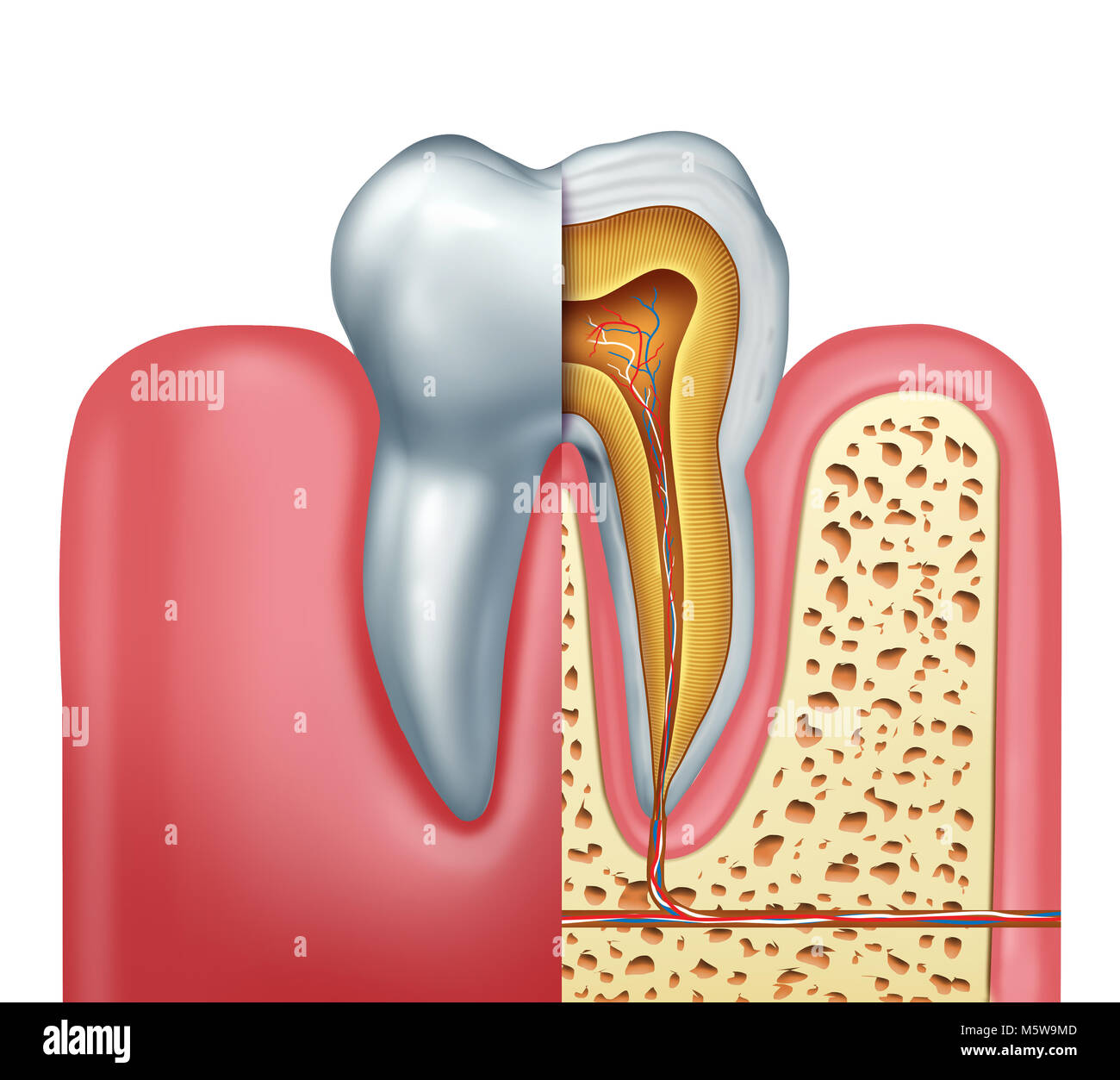 Human tooth anatomy dentistry medical concept as a cross section of ...
