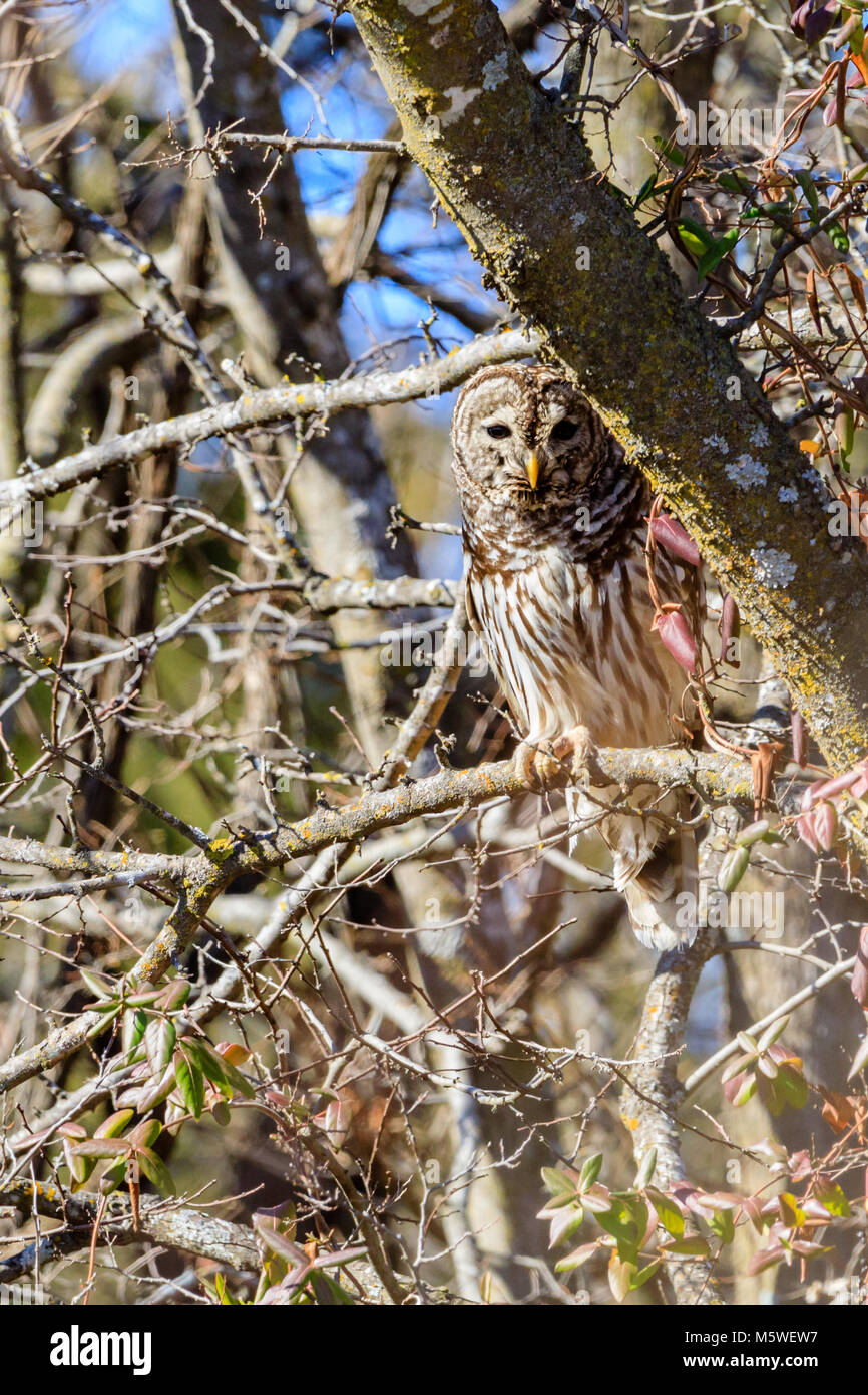 a Barred Owl sits in a tree located in Hominy, Oklahoma Stock Photo