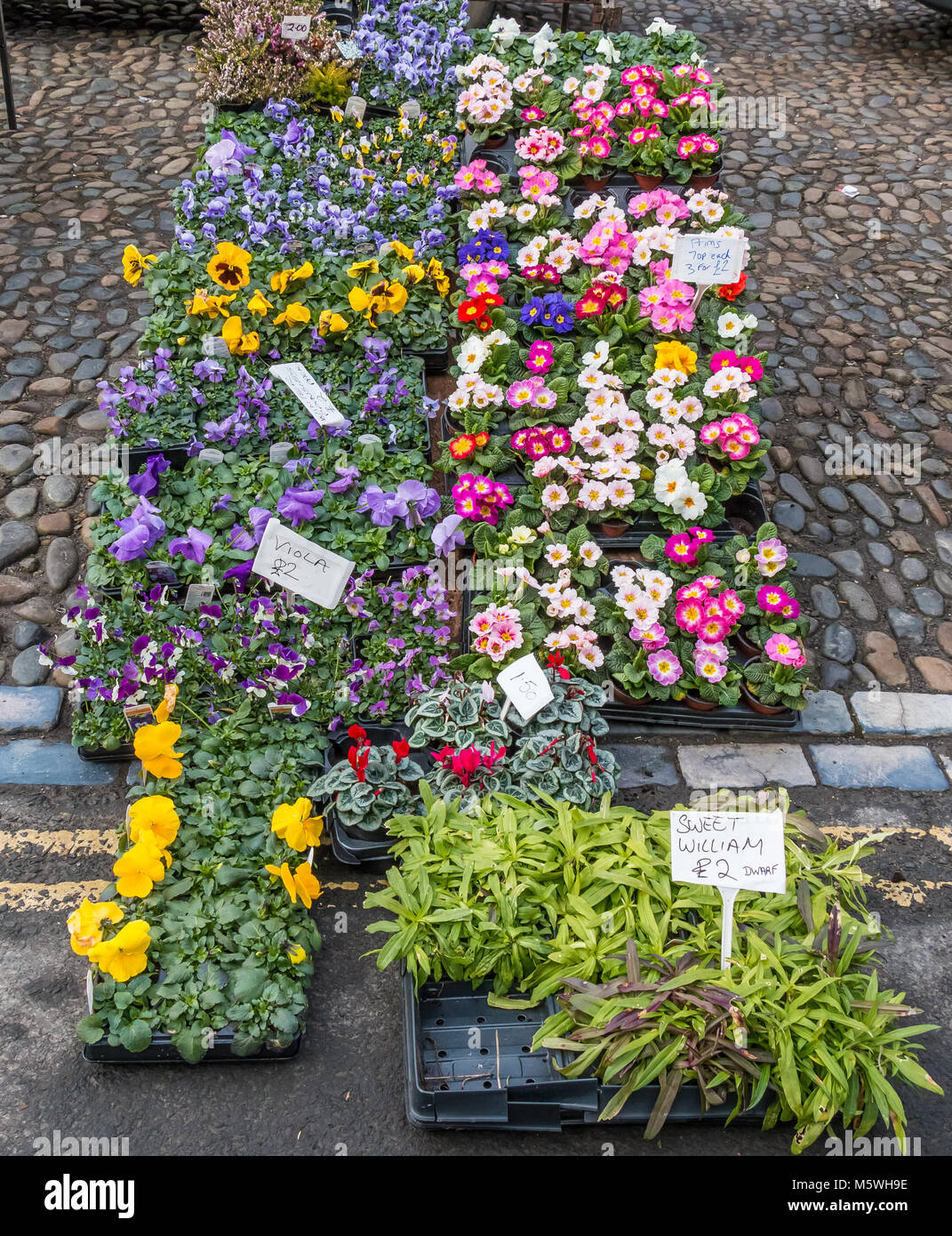 A colourful display of winter and spring flowering garden plants for sale on a street market - Stock Image
