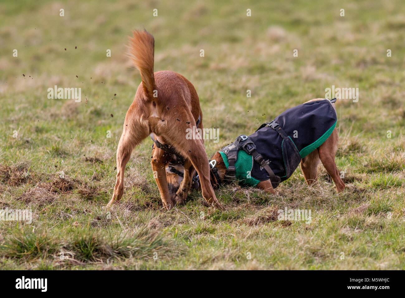 Two dogs digging in the grass, having fun together - Stock Image