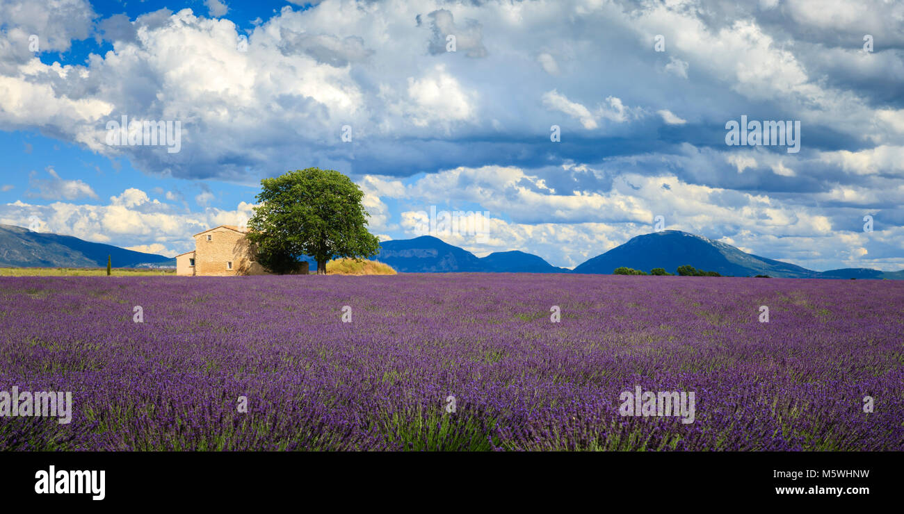 Lavender fields Valensole Plateau Forcalquier Alpes-de-Haute-Provence Provence-Alpes-Cote d'Azur France Stock Photo