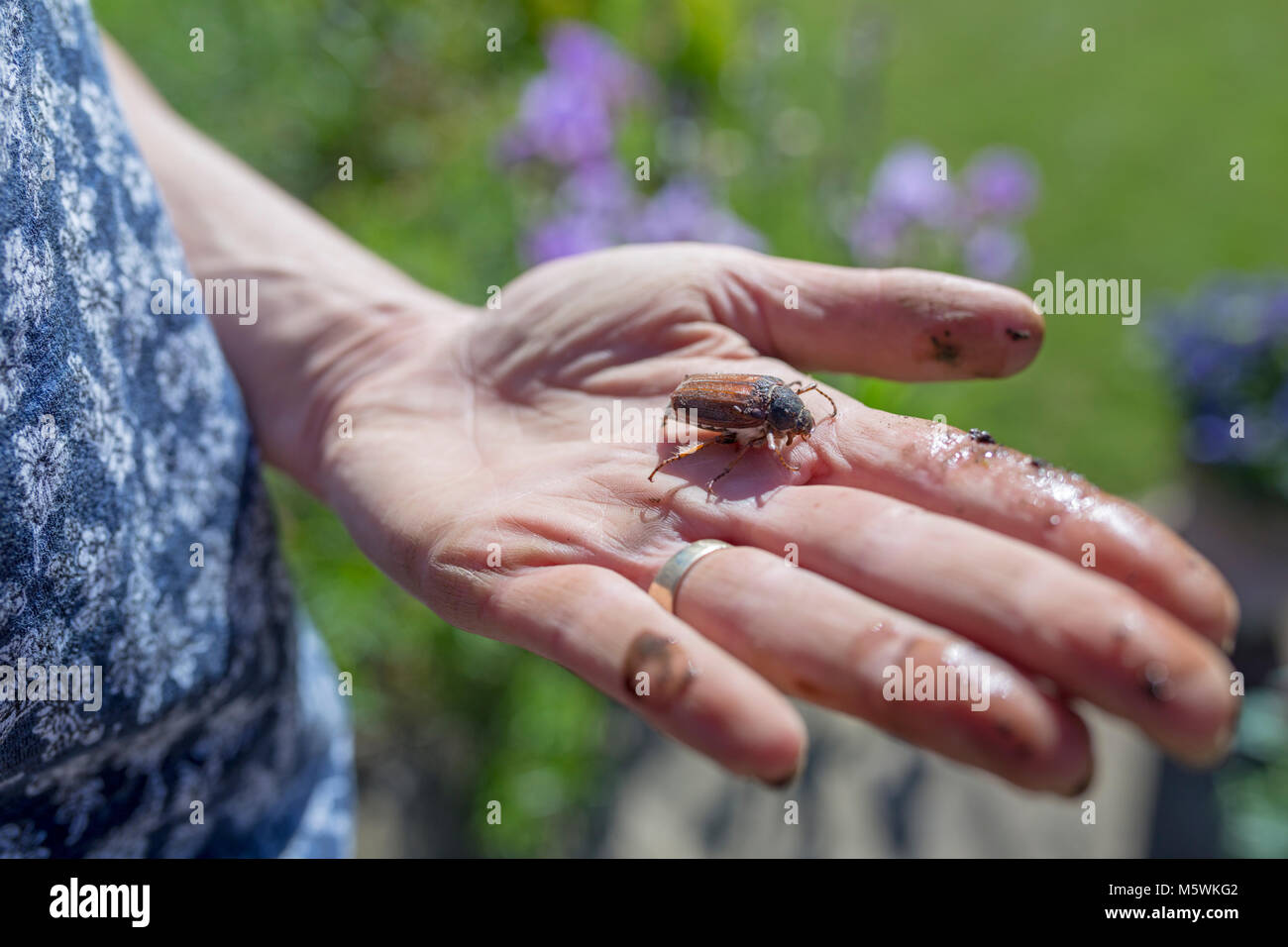 A May bug in the palm of a woman's hand. - Stock Image