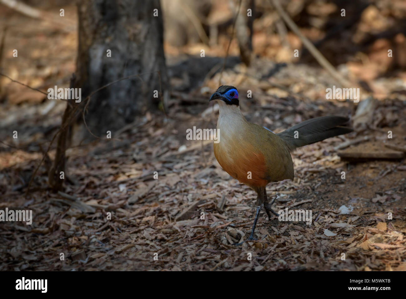 Giant Coua - Coua gigas, big ground bird from endemic in Western Madagascar dry forest. Blue head. - Stock Image