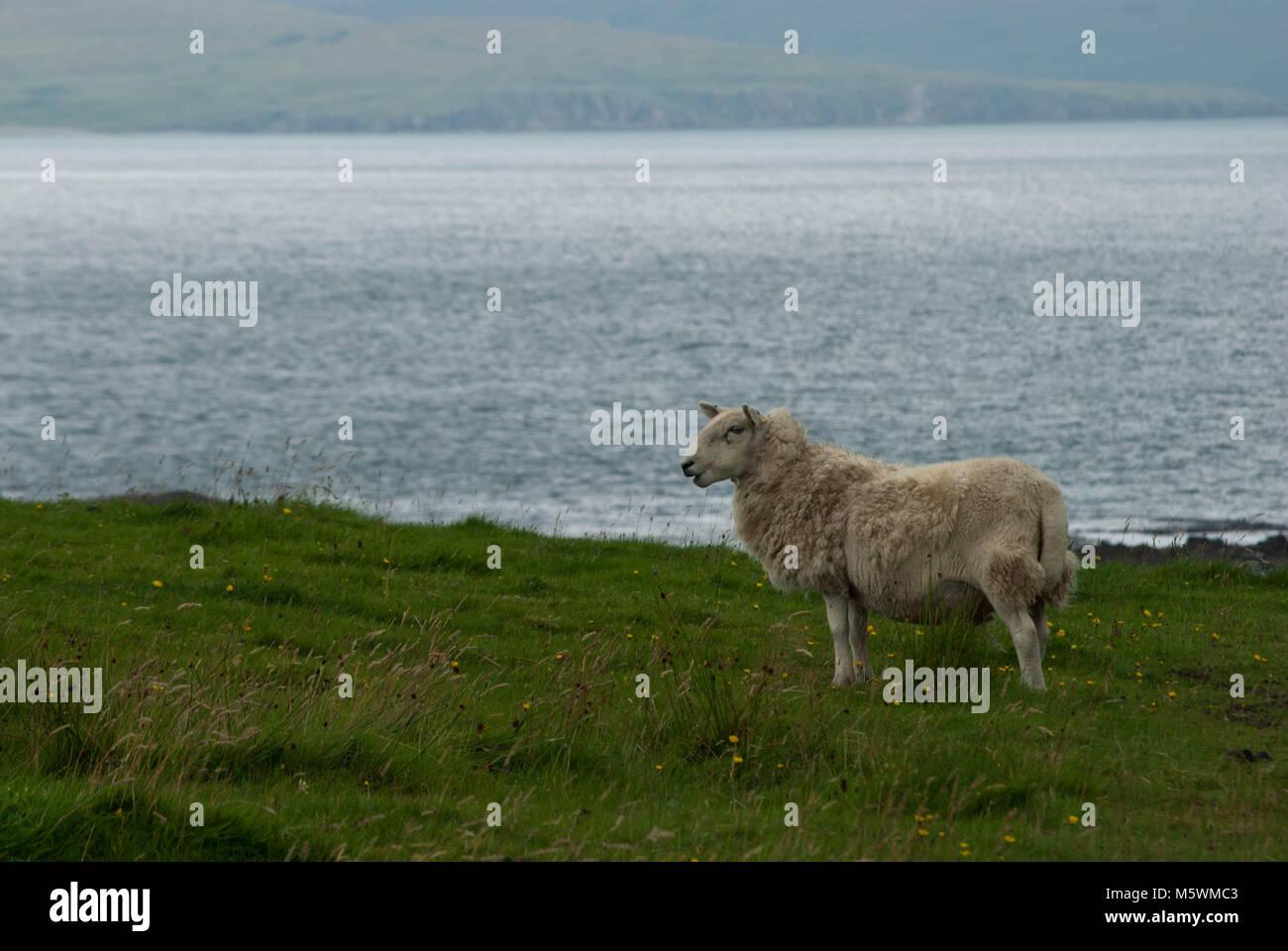 grazing sheep on Isle of Eigg Cleadale - Stock Image