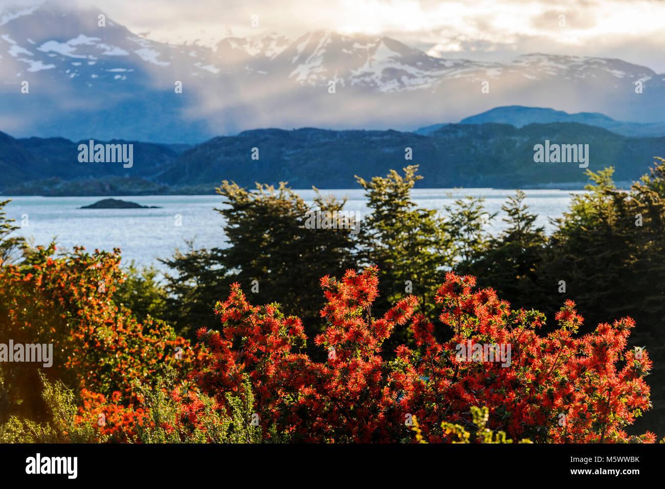 Red blossomed Chilean fire bush; Embothrium coccineum; inflorescence; Lago Nordenskjold; Cordillera Paine beyond; - Stock Image