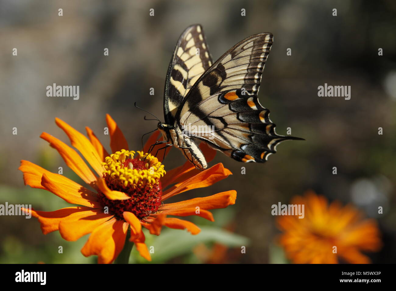 Eastern yellow tiger swallowtail butterfly Stock Photo
