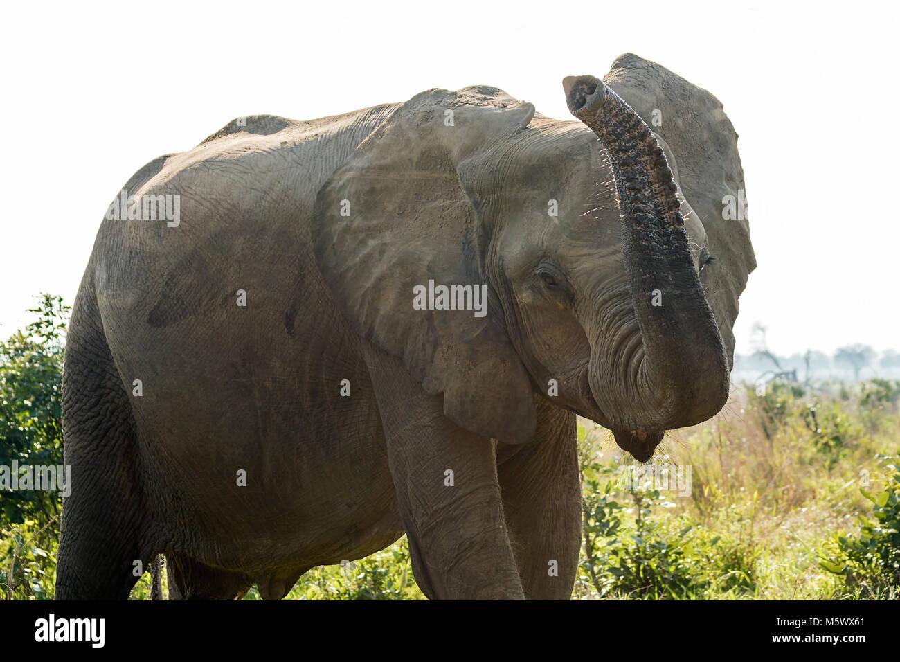 African Elephant Ears Cutout Stock Photos African Elephant Ears