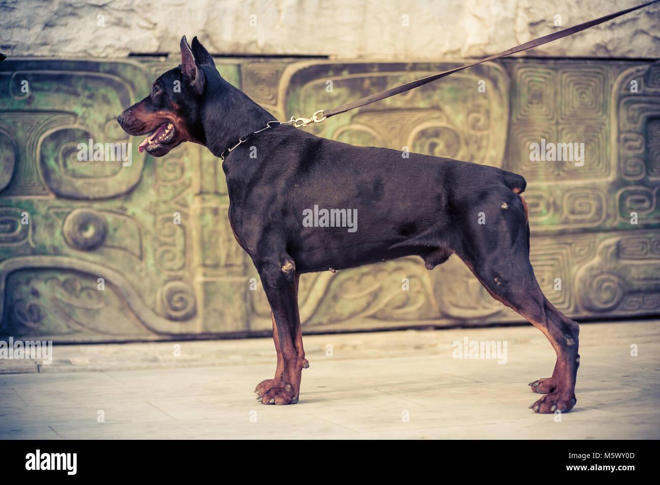 Doberman Pinscher, black German Durbin - Stock Image