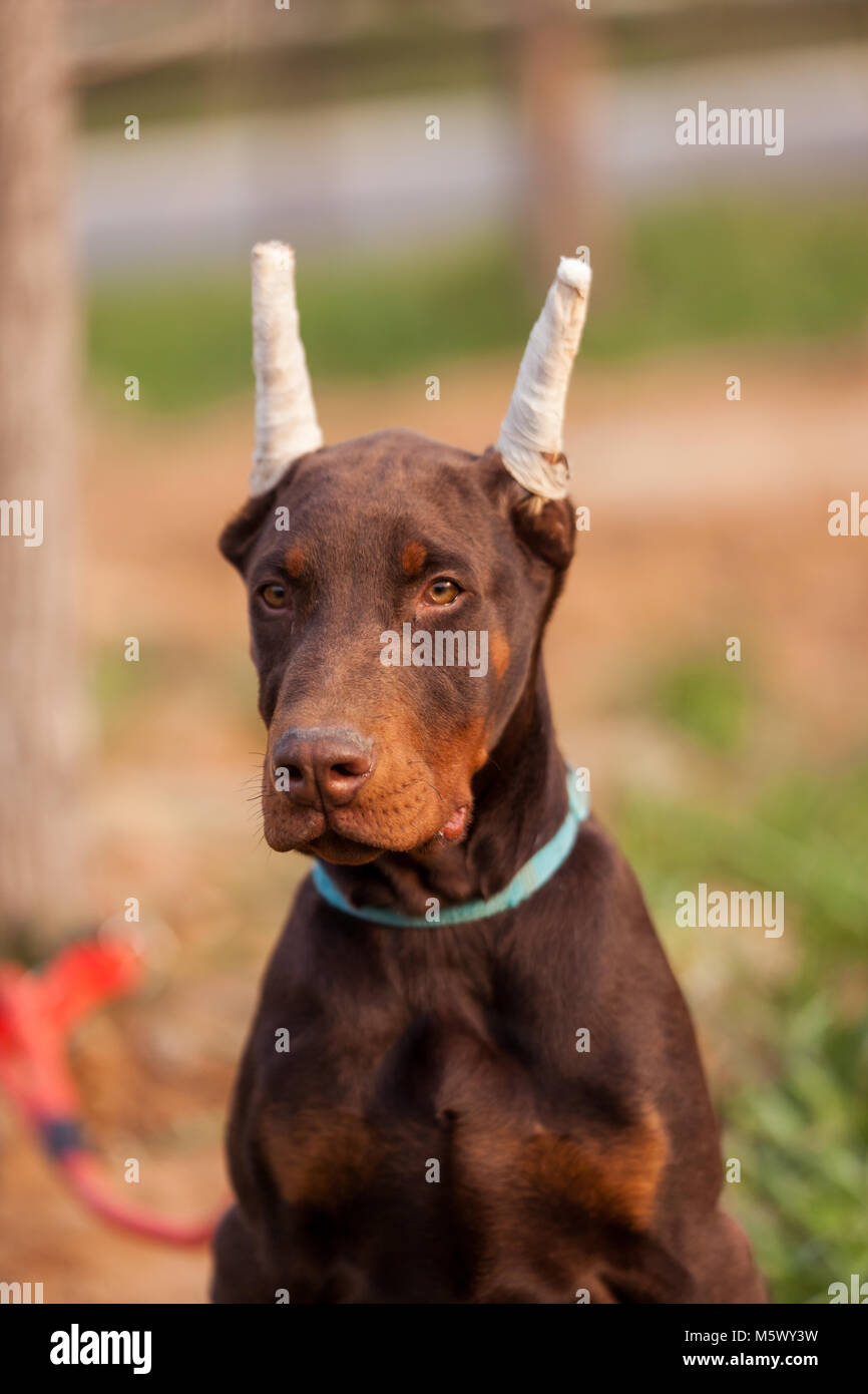 Doberman Pinscher, black German Durbin - Stock Image