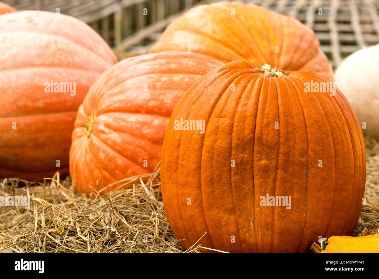 The giant pumpkins in the garden both make the scene as food. This food is very rich in vitamins, iron, mineral - Stock Image