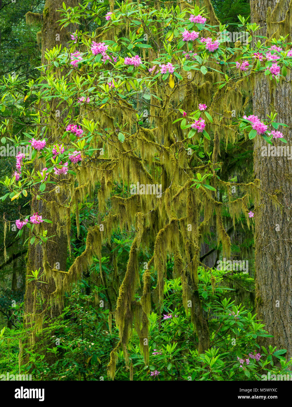 Rhododendron Bloom, Jedediah Smith Redwoods State Park, Redwood National and State Parks, California - Stock Image