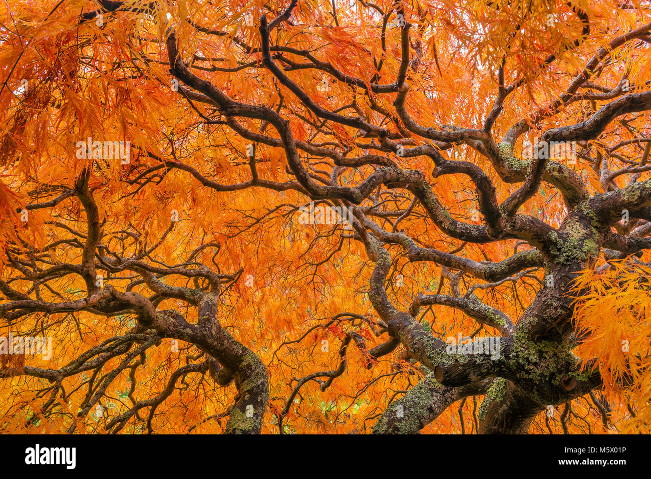 Japanese Maple, Laceleaf, Acer Palmatum, Fern Canyon Garden, Mill Valley, California Stock Photo