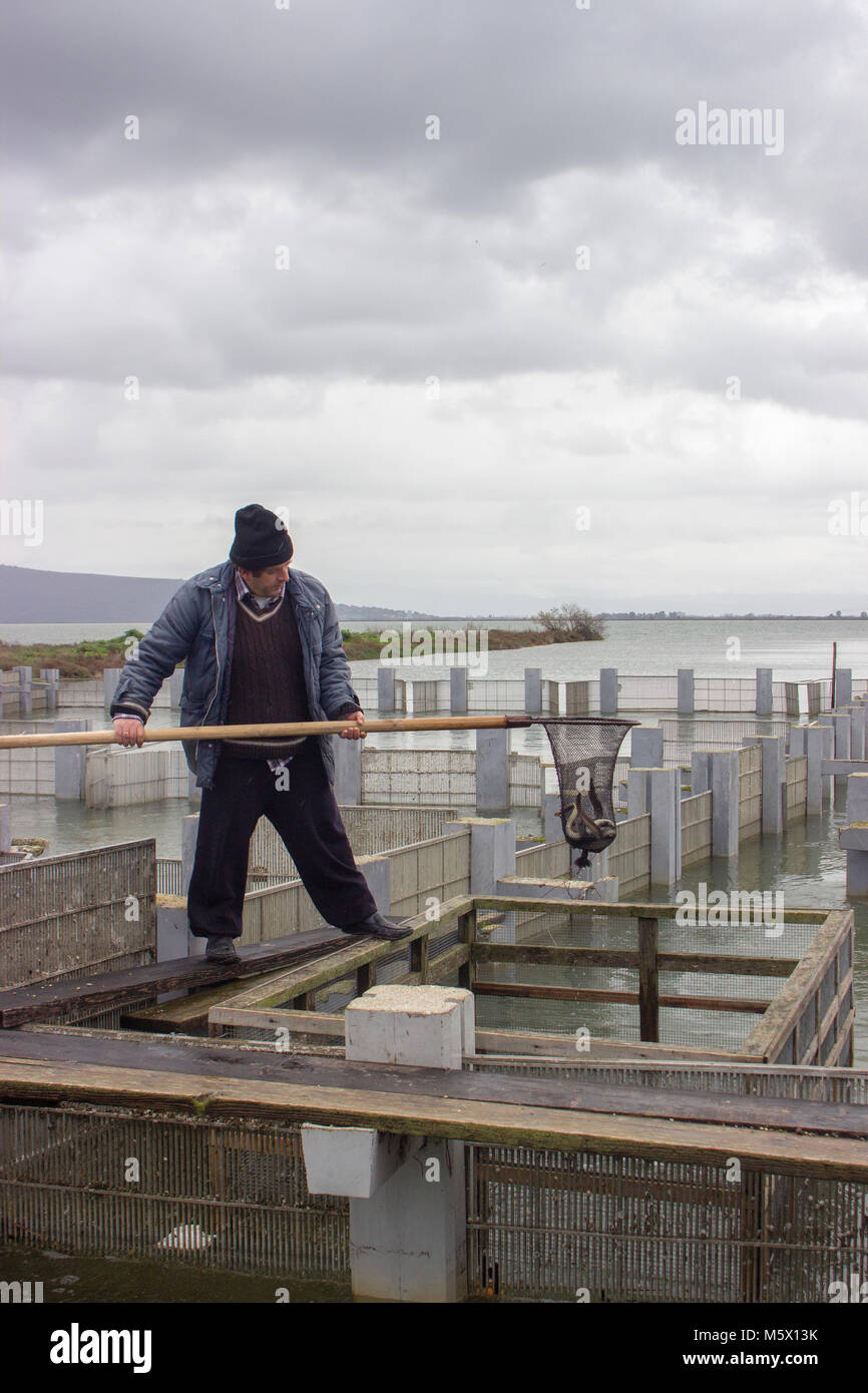 Professional fisherman catching eels from their traps using a net - Stock Image
