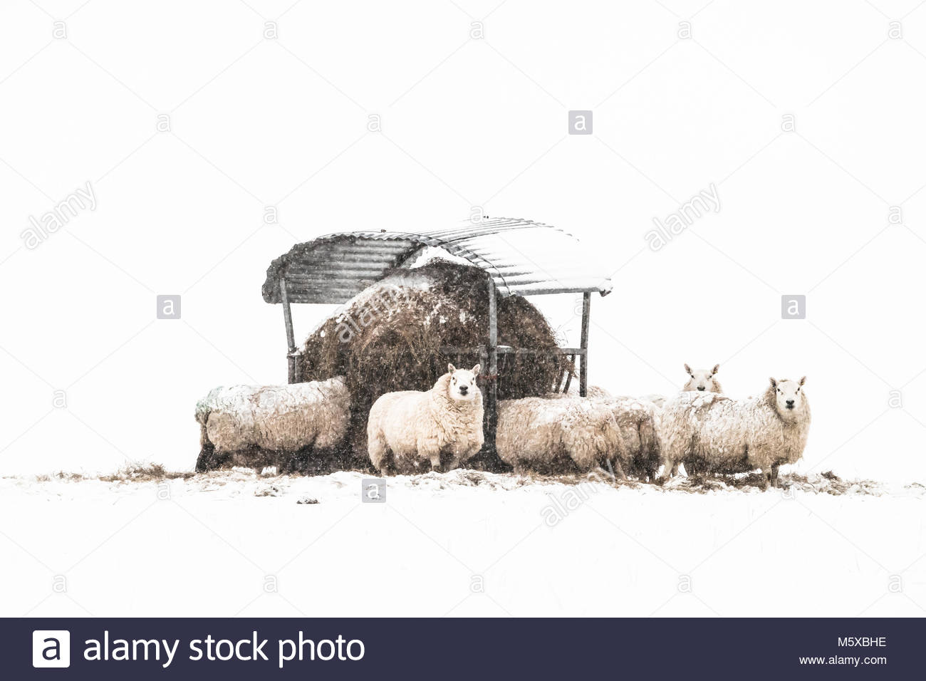Hownam, Jedburgh, Scottish Borders, UK. 27th February 2018. UK Weather: Ewes in lamb gather round a hay feeder in - Stock Image