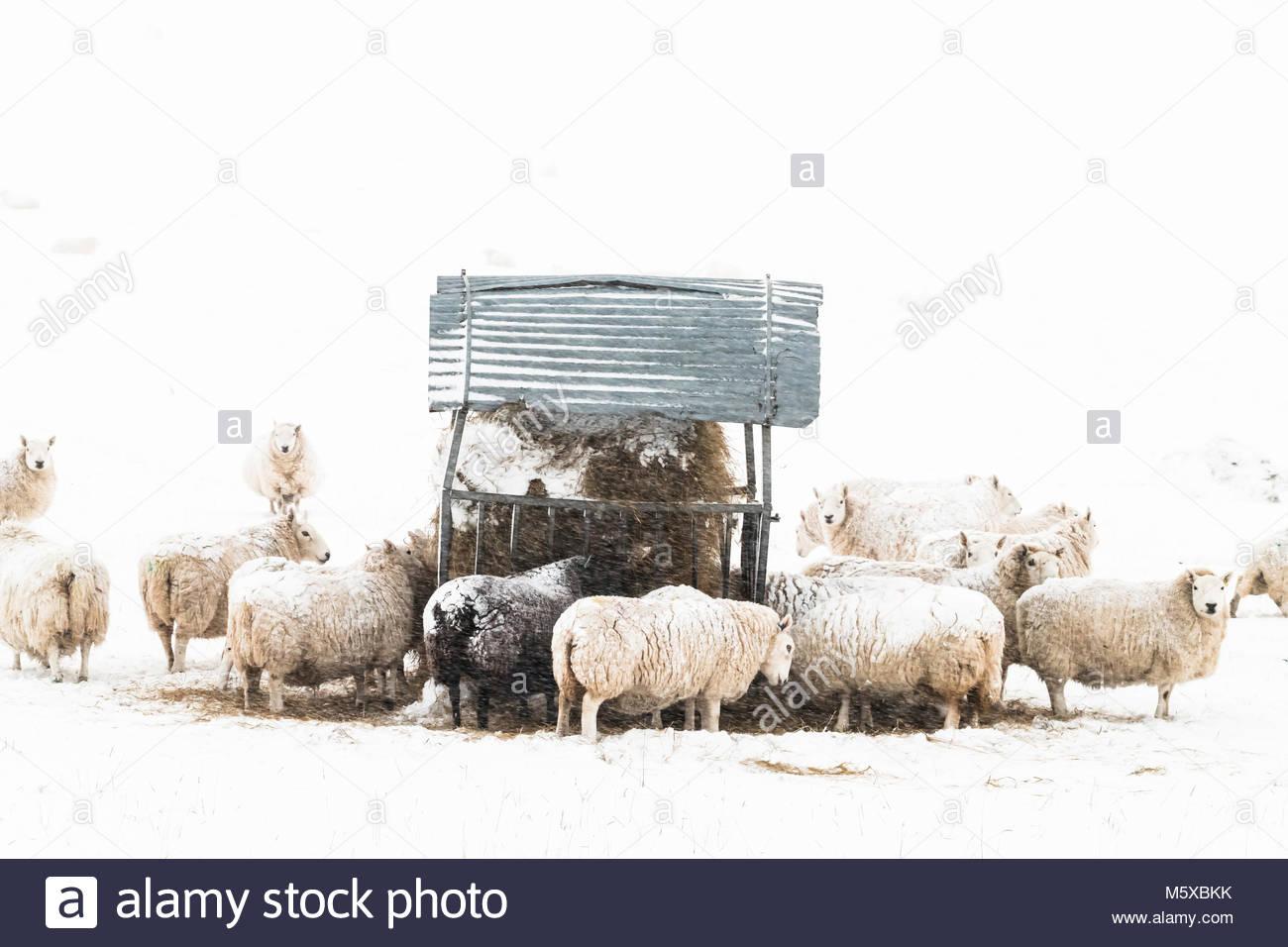Hownam, Jedburgh, Scottish Borders, UK. 27th February 2018. UK Weather: Ewes in lamb have endured a tough night - Stock Image