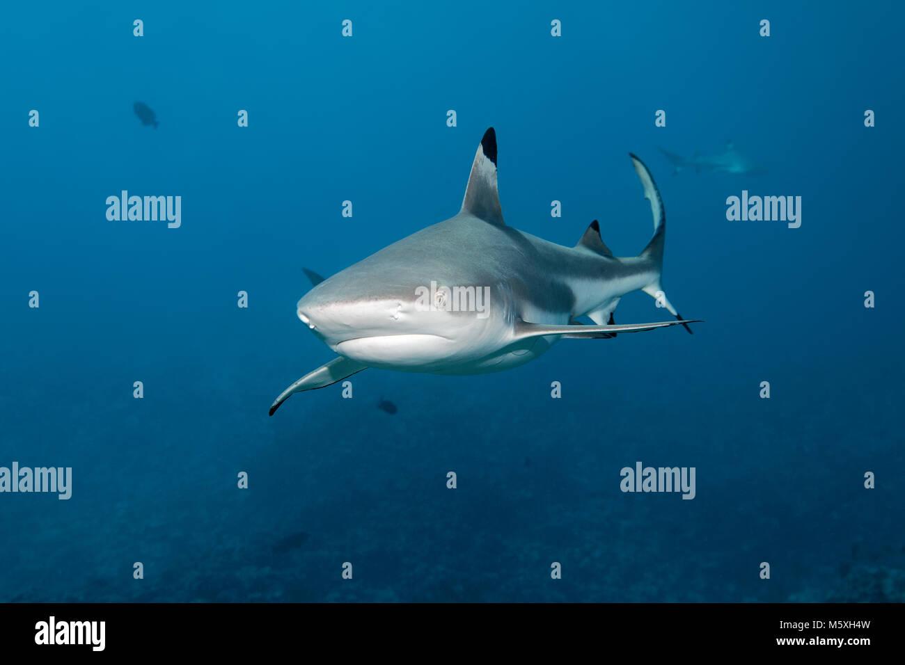 Blacktip reef shark (Carcharhinus melanopterus) over coral reef, Pacific Ocean, Moorea, Windward Islands, French Stock Photo
