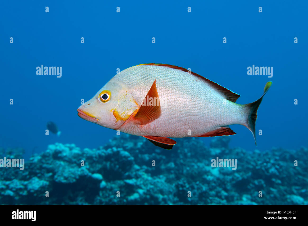 Humpback Red Snapper (Lutjanus gibbus), swims over coral reef, Pacific Ocean, Moorea, Windward Islands, French Polynesia Stock Photo