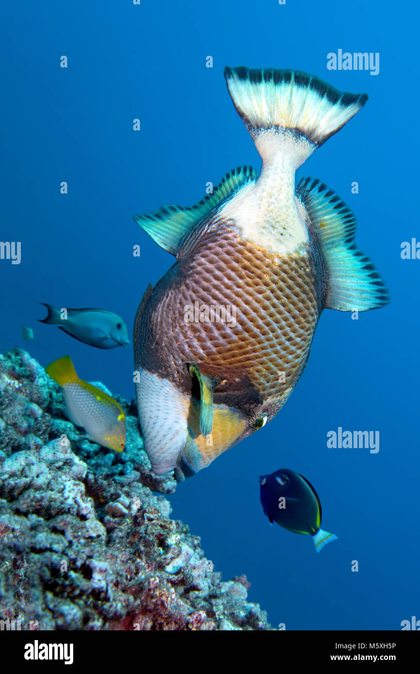 Three coral fish encircle titan triggerfish (Balistoides viridescens) and benefit from its foraging, Pacific, Moorea - Stock Image