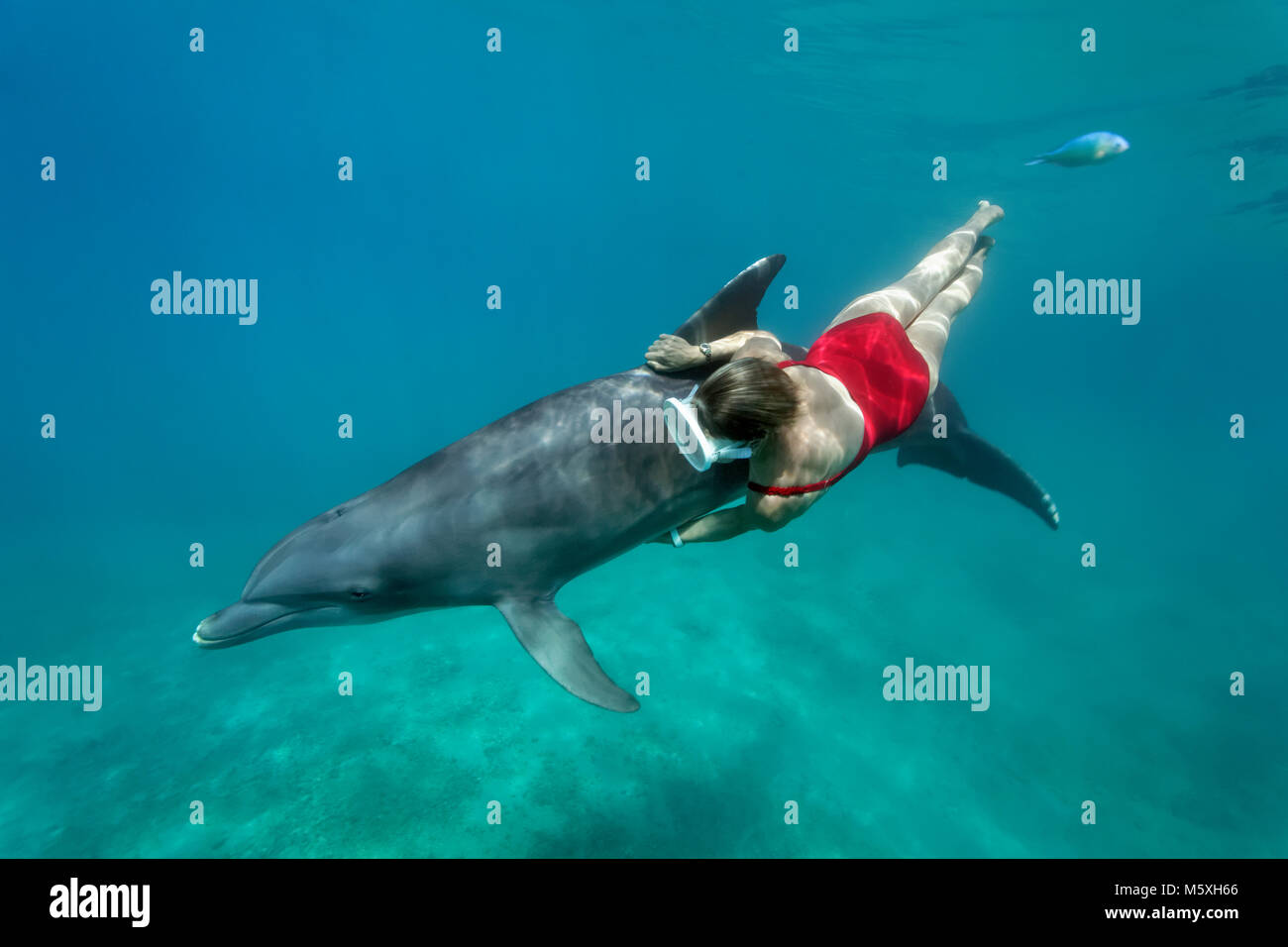 Female freediver with Bottlenose dolphin (Tursiops truncatus), The Dolphin Center, captive, Moorea, Windward Islands - Stock Image