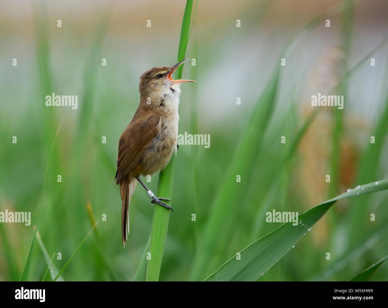Ringed Acrocephalus warbler sings - Stock Image