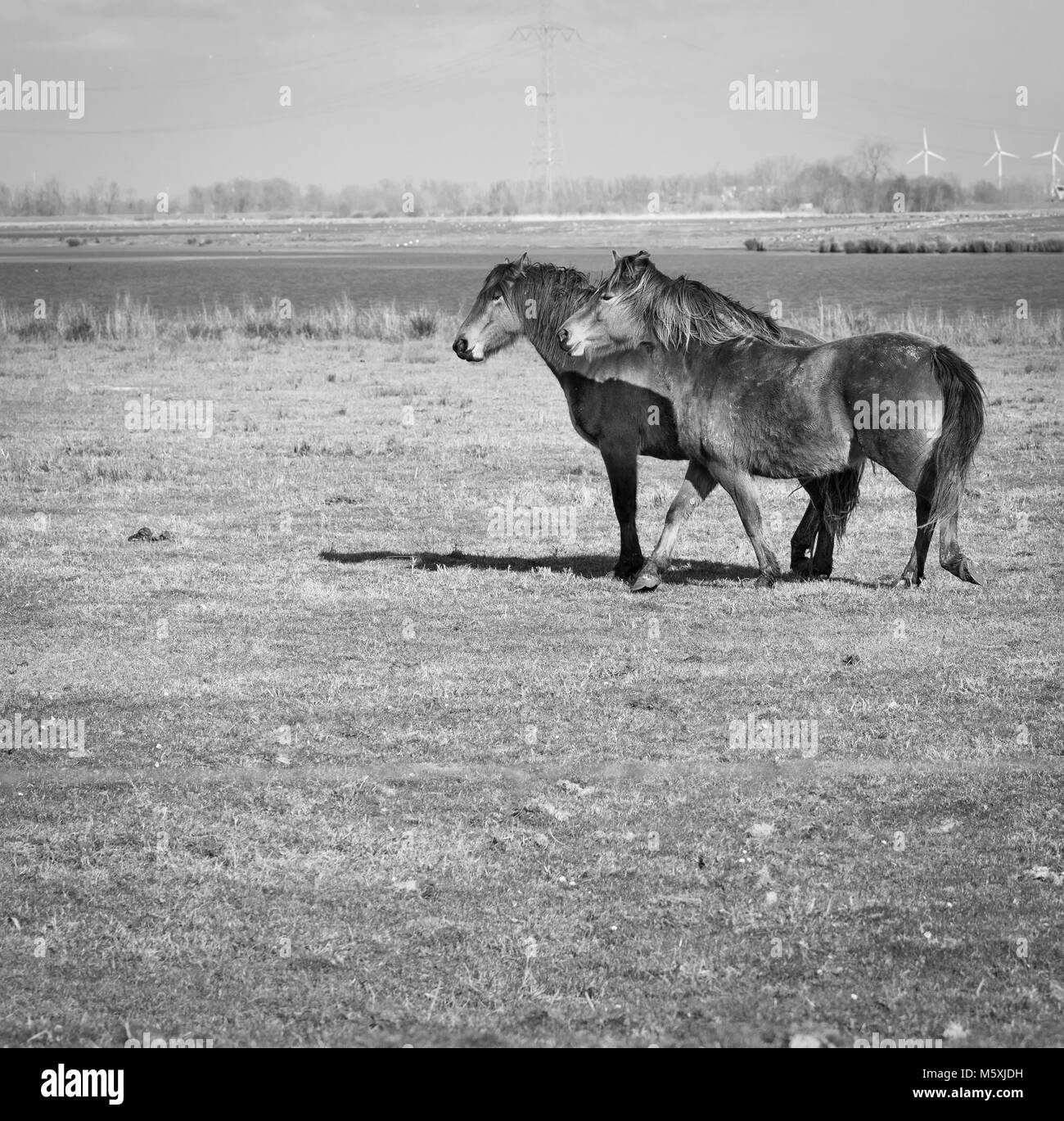 Horses running along the river, meadows in Holland, polders in the Nature Park Biesbosch. Dutch polders, freedom - Stock Image