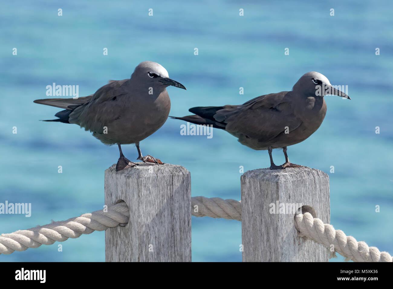 Lava gulls (Larus fuliginousus), sitting on handrail, Moorea, French Polynesia - Stock Image
