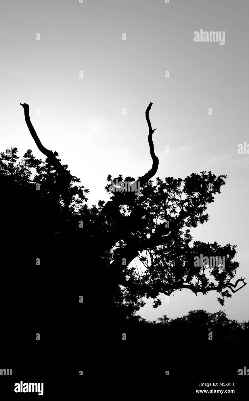 Monochromatic, Negative Space Photo of a Gnarled English Oak Tree (Quercus robur). Powderham Castle, South Devon, - Stock Image