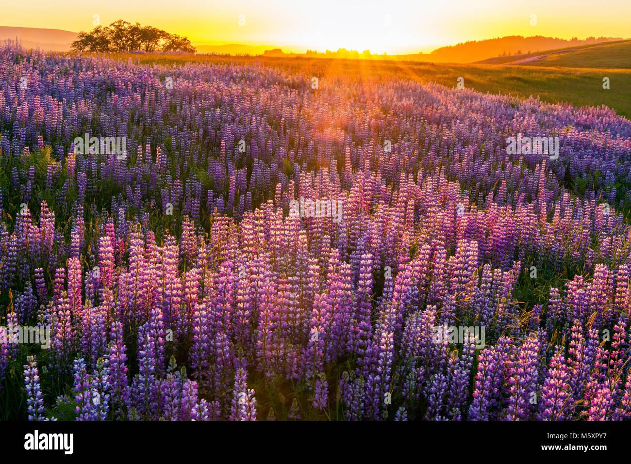 Sunset, Lupin, Lupinus angustifolius, Williams Ridge, Redwood National Park, California - Stock Image