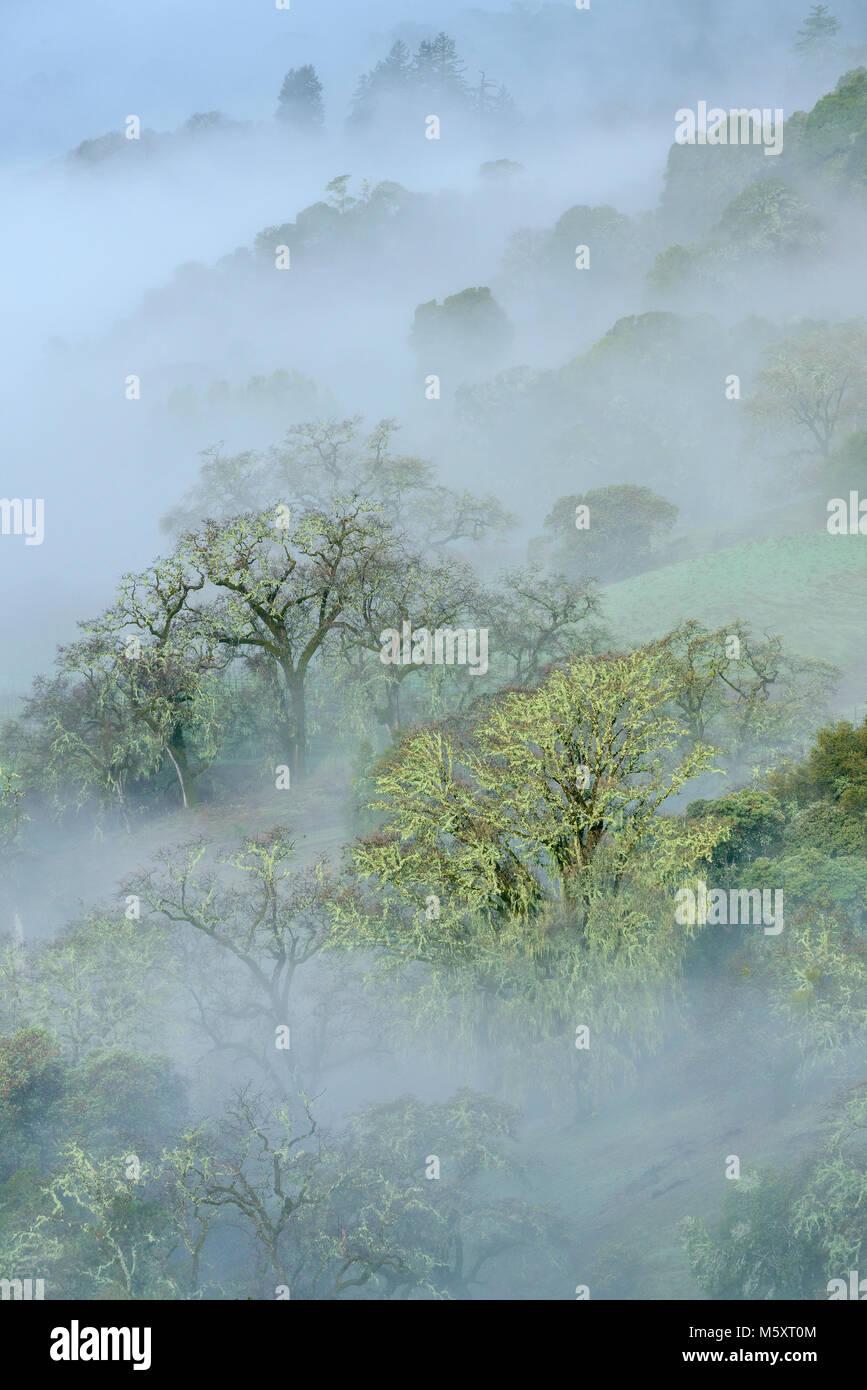 Lifting Fog, Valley Oaks, Quercus lobata, Yorkville Highlands, Mendocino County, California - Stock Image