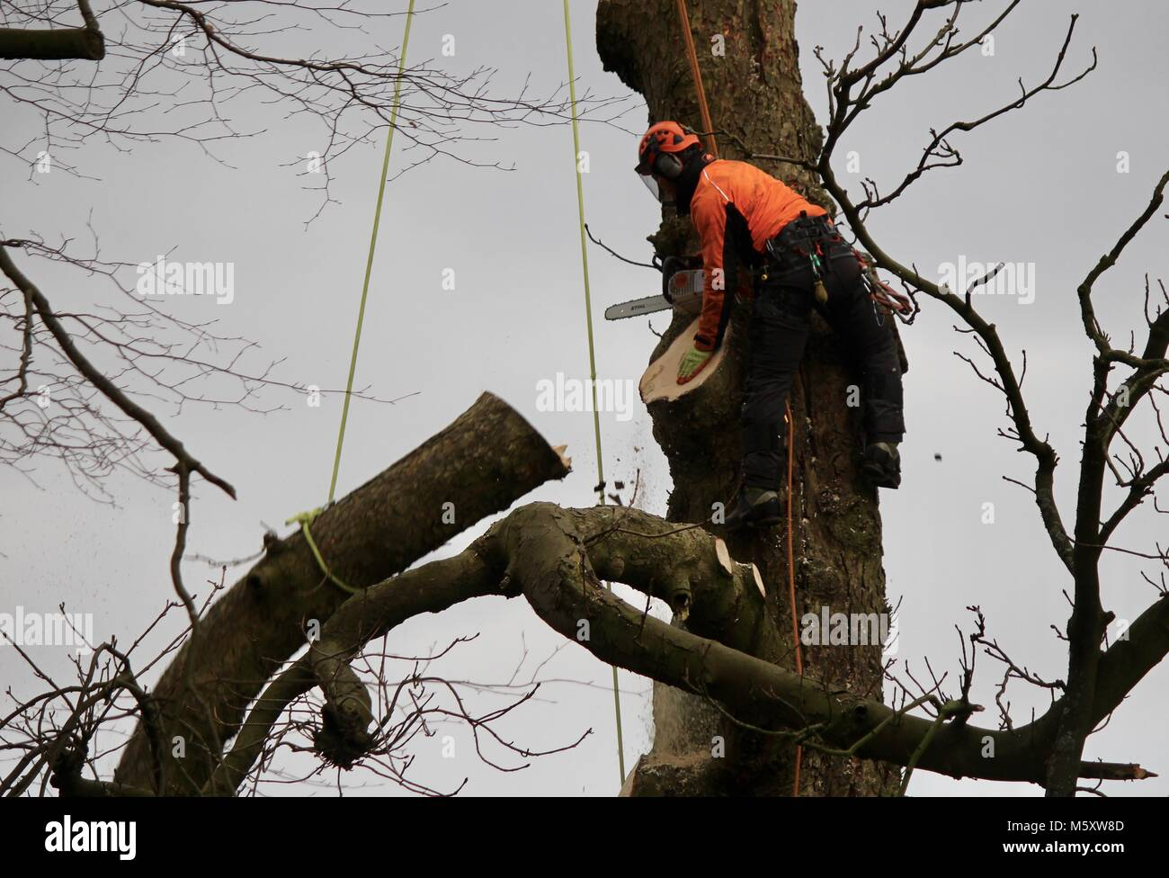 Tree surgeon operating his chainsaw in a tree attached to ropes sawing off large branches Stock Photo